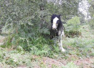 A black and white working horse rolling the bracken on the Cliffe